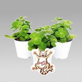 Katzenschreck Pflanze zum Katze vertreiben