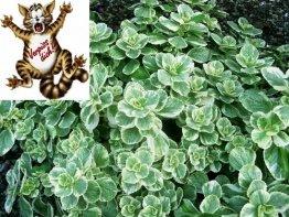 Katzenschreck Pflanze zum vertreiben von Katzen