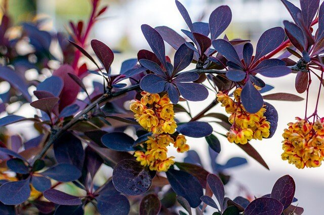 Katzenschreck Pflanze Berberitze