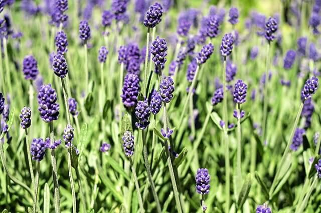 Katzenschreck Pflanze Lavendel