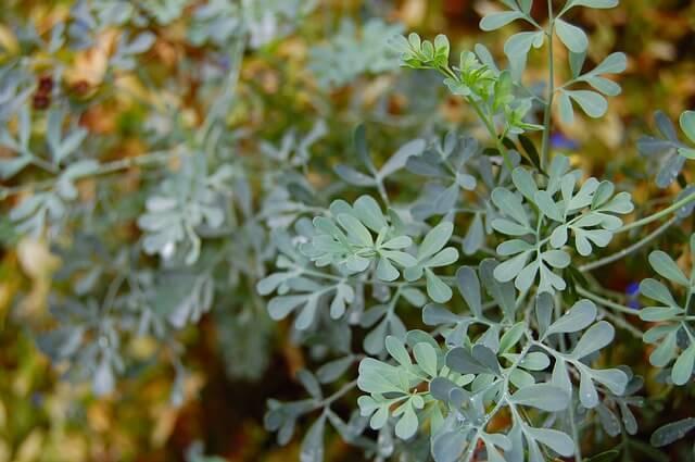 Katzenschreck Pflanze Weinraute